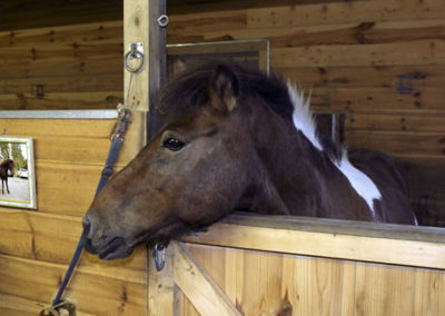 Horse in Stable | Vermont Icelandic Horse Farm & Vacation Rental in Waitsfield