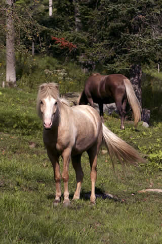 Icelandic Horses | Vermont Horse Farm & Vacation Rental in Fayston, Vermont