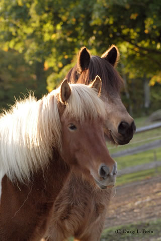 Icelandic Horses | Vermont Icelandic Horse Farm & Vacation Rental in Waitsfield