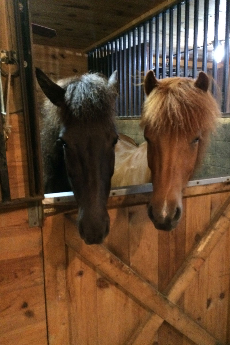 About the Icelandic Horses | Vermont Icelandic Horse Farm & Vacation Rental in Waitsfield