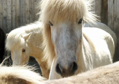 White Icelandic Horse | Vermont Icelandic Horse Farm & Lodging in Waitsfield