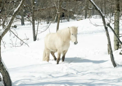 Winter Horse | Vermont Icelandic Horse Farm & Vacation Rental in Waitsfield